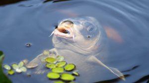 Tout savoir sur la pêche à la carpe